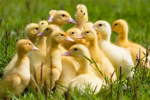 How To Raise Baby Ducks For New Owners How To Raise Ducks